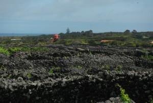 2014-05-27 10h44 champ de vignes et moulin toit rouge côte W de Pico Açores