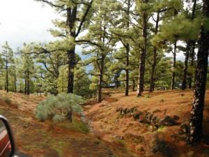 2014-01-9 11h16 auto forêt de pins  SE Hierro
