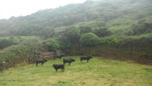 2014-06-14 16h56 taureaux de Terceira Açores