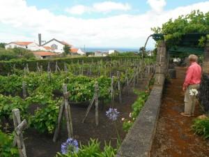 2014-06-14 14h19 muséee du vin Biscoitos côte Nord Terceira Açores (3)