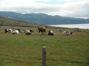 2014-05-04 11h38 champs açoriens aux vues superbes pour les vaches balade Santa Maria Açores