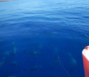 2016-06-04 12h08 banc de thons genaker Syros sud Cyclades2