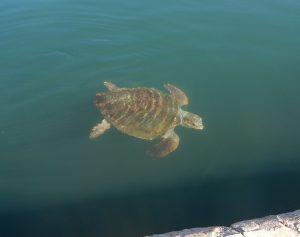2016-11-05-13h53-tortue-port-d-argostoli-cephalonie
